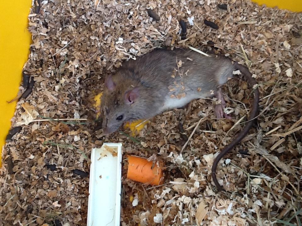 Domestiquer un Rat des Champs? Ratinou